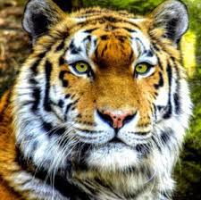 Diamond painting op canvas tijger.